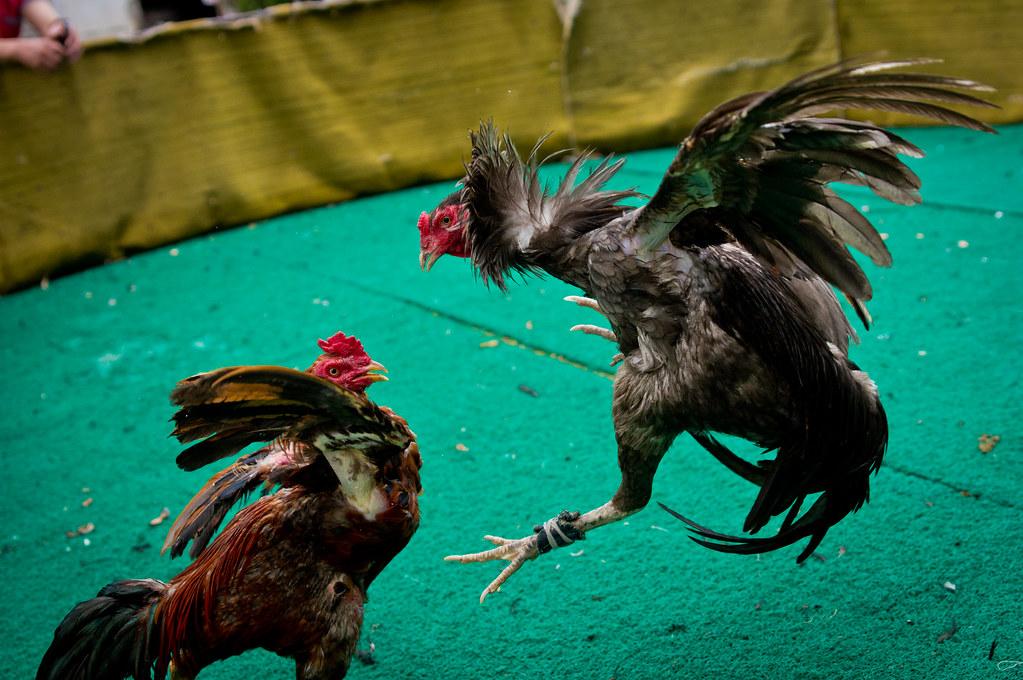 Cara Menang Berjudi Sabung Ayam Mudah